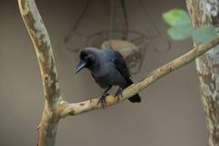 Crow-2 comum foto de stock