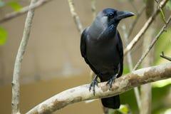 Crow-3 comum fotos de stock royalty free