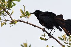 Crow (Corvus corone) shaking feathers Stock Photo