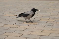 Crow costs on a stone blocks. Royalty Free Stock Image