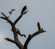 Crow Crowing Stock Photography