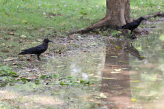 Crow or DAW standing on lowland areas of public park. Stock Photo