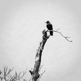 A crow on a dead tree Stock Image