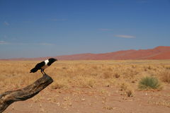 Crow in the desert Royalty Free Stock Image
