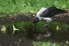 Crow drinking water Royalty Free Stock Photos