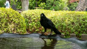 A crow drinking water and resting stock image