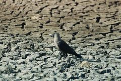 Crow on dry land. Without water Stock Photography