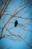 Crow on dry tree branches with sky blue. Stock Image