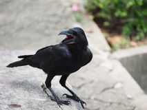 Crow. A crow early in the morning. Snatch and steal food Royalty Free Stock Photography