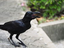 Crow. A crow early in the morning. Snatch and steal food Royalty Free Stock Image