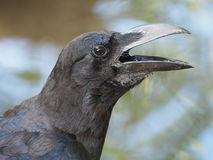Crow. A crow early in the morning. Snatch and steal food Royalty Free Stock Photo