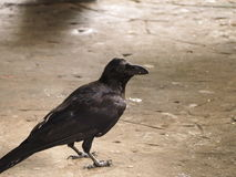 Crow. A crow early in the morning. Snatch and steal food Stock Photo