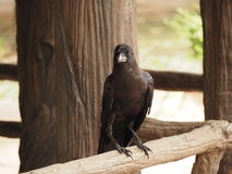 Crow. A crow early in the morning. Snatch and steal food Stock Images