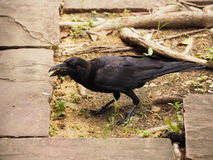 Crow. A crow early in the morning. Snatch and steal food Stock Photography