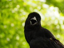 Crow. A crow early in the morning. Snatch and steal food Stock Photos