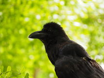 Crow. A crow early in the morning. Snatch and steal food Royalty Free Stock Images