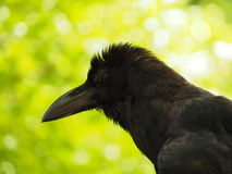 Crow. A crow early in the morning. Snatch and steal food Stock Image