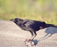 Crow eating a fish. Florida Crow eating a fish Stock Photo