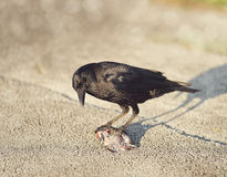 Crow eating a fish Stock Image