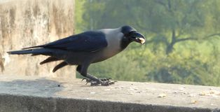 A crow eating a piece of food in beak. Gray, necked, Ceylon, colombo crow, Asian sitting on wall peck Stock Photo