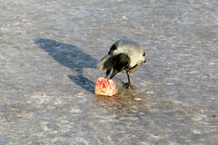 Crow is eating piece of meat Stock Photography
