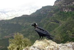 Crow in Ethiopia Royalty Free Stock Images