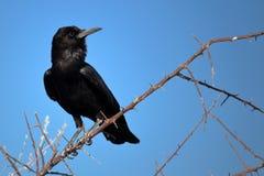 Crow in Etosha, Namibia Stock Photo