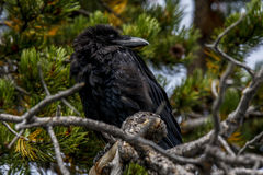 Crow in evergreen tree Stock Photography