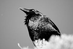 Crow with Eye Closed Royalty Free Stock Photo