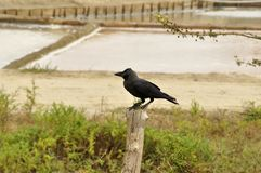 Crow  (fam; Corvidae) Stock Photo