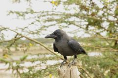 Crow  (fam; Corvidae) Royalty Free Stock Photography