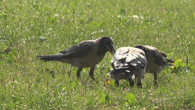 Crow feeds her young chicks. Crow feeds her young with care stock video footage