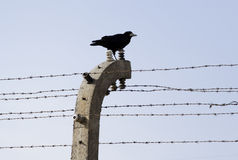 Crow on fence in KL Auschwitz Stock Images