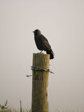 Crow on a fencepost. Royalty Free Stock Images