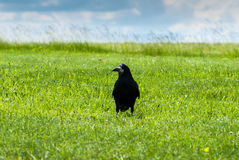 Crow in a field. Royalty Free Stock Image