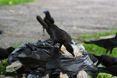 Crow find food Stock Image