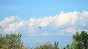 Crow flies over the trees against the cloudy sky. A crow flies over the trees against the cloudy sky. Slow motion stock footage