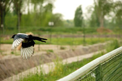 Crow in flight. Crow jumping from fence to ground Royalty Free Stock Images