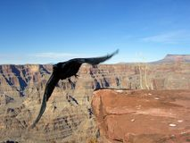 Crow in Flight. At grand Canyon stock photography