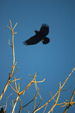 Crow in flight Stock Photo