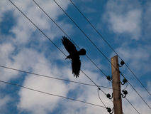 Crow in flight Royalty Free Stock Photo