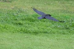 A crow in flight. A black crow, wings spread, skimming low over grass Royalty Free Stock Image