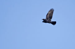 Crow in Flight in a Blue Sky. An American Crow in Flight Across a Blue Sky stock images