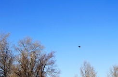 Crow in flight. In blue sky royalty free stock photos