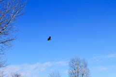 Crow in flight. In blue sky stock images