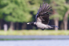 Crow in flight and cheese Stock Photo