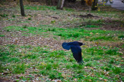Crow in flight in a city park Royalty Free Stock Image
