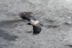 Crow in flight. Over the melting spring ice royalty free stock photos