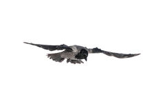 Crow in flight. Portrait of crow in flight, isolated on white stock photography