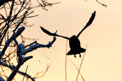 Crow in flight at sunset. A photo royalty free stock image